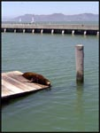 Sea Lion lazing around at Fishermans Wharf, San Francico, California